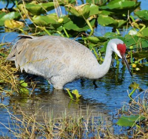 A sand crane.  Dozens are in the area and seem to do dive bomb runs over our seminars.