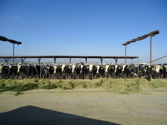 One day we visited a large dairy farm.