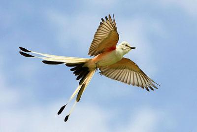 scissor-tailed-flycather